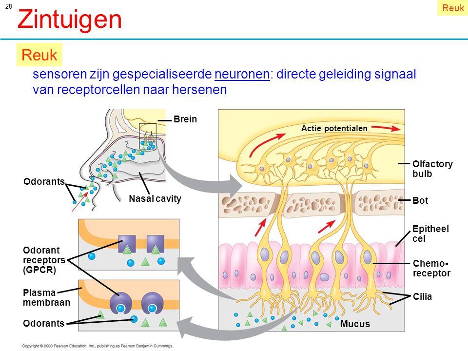 Zintuigen Reuk. Reuk. sensoren zijn gespecialiseerde neuronen: directe geleiding signaal. van receptorcellen naar hersenen.