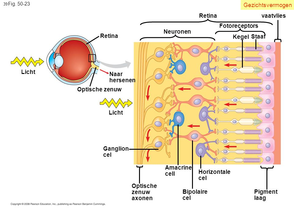 Gezichtsvermogen Retina vaatvlies Fotoreceptors Neuronen Retina Kegel