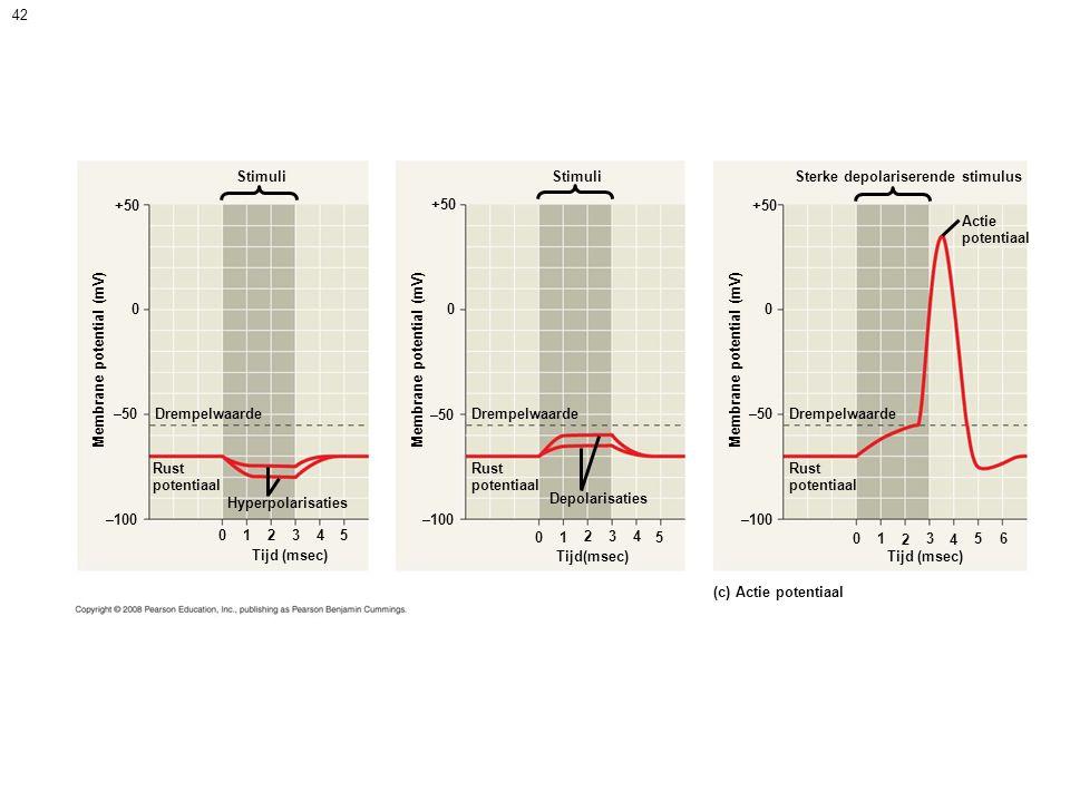 Stimuli +50. Membrane potential (mV) –50. Drempelwaarde. Rust. potentiaal. Hyperpolarisaties.