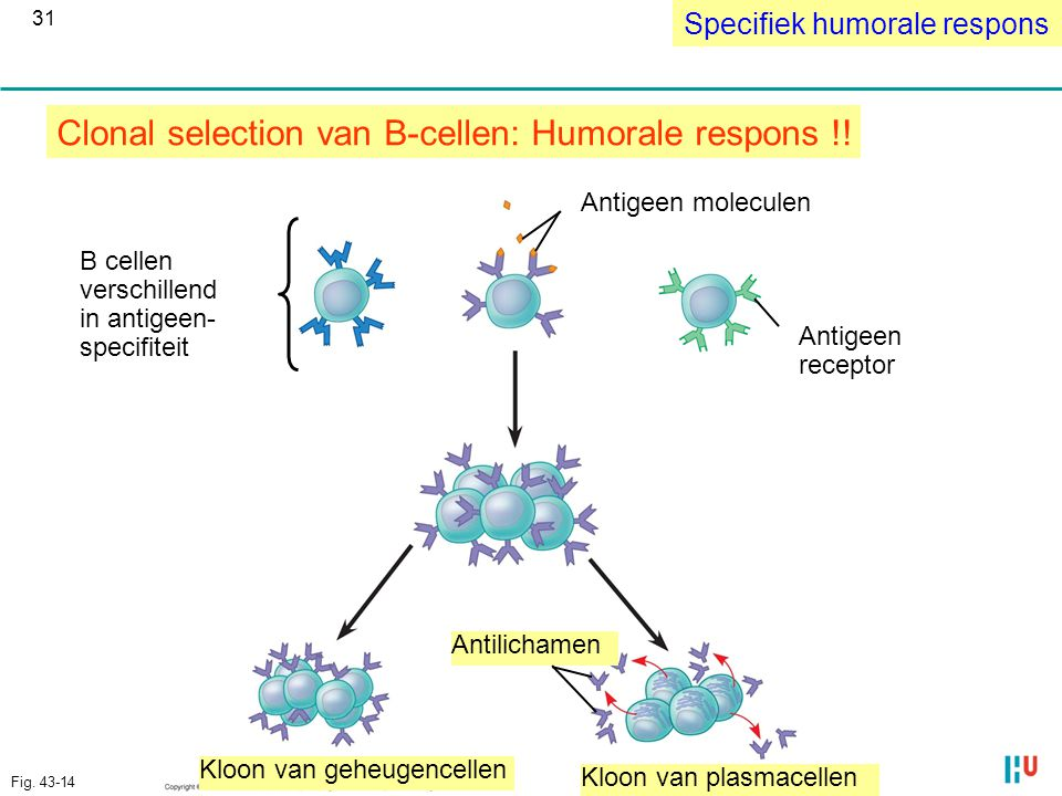 Clonal selection van B-cellen: Humorale respons !!