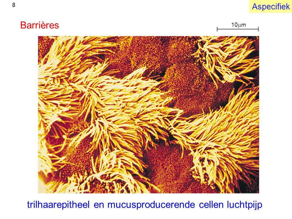 trilhaarepitheel en mucusproducerende cellen luchtpijp