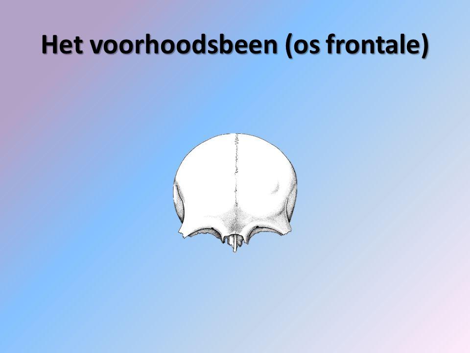 Het voorhoodsbeen (os frontale)