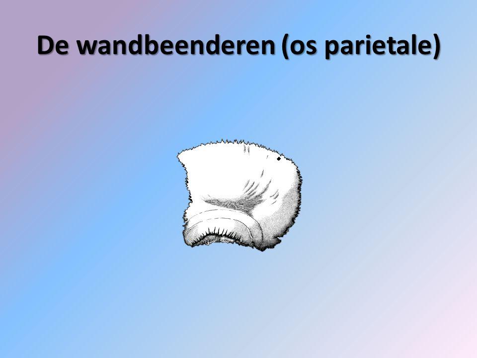 De wandbeenderen (os parietale)