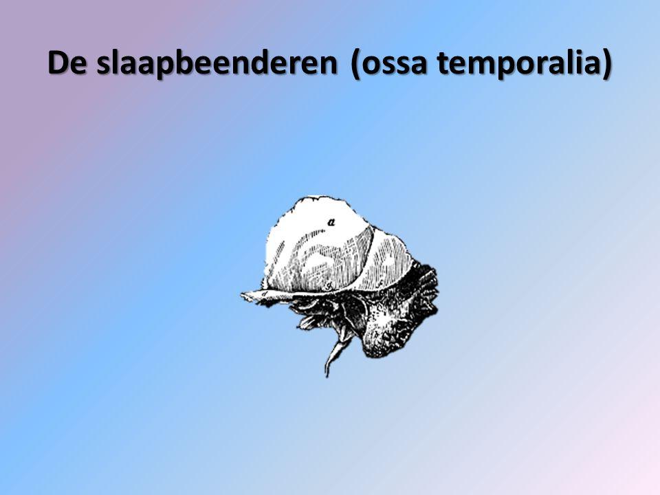 De slaapbeenderen (ossa temporalia)