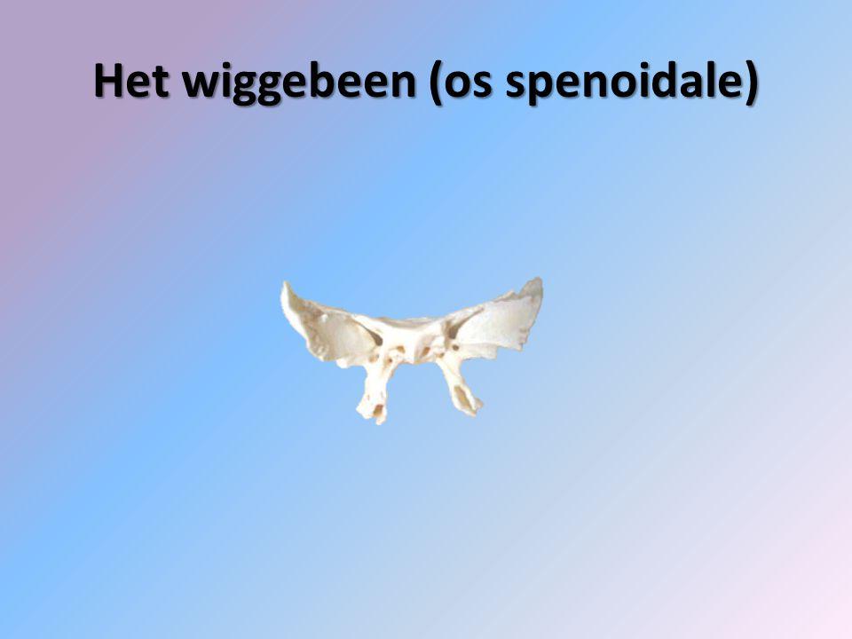 Het wiggebeen (os spenoidale)