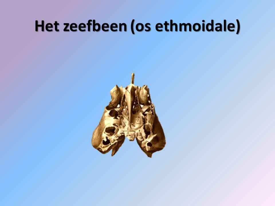 Het zeefbeen (os ethmoidale)