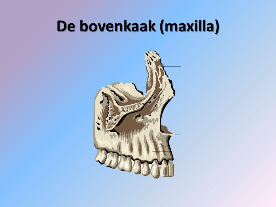 De bovenkaak (maxilla)