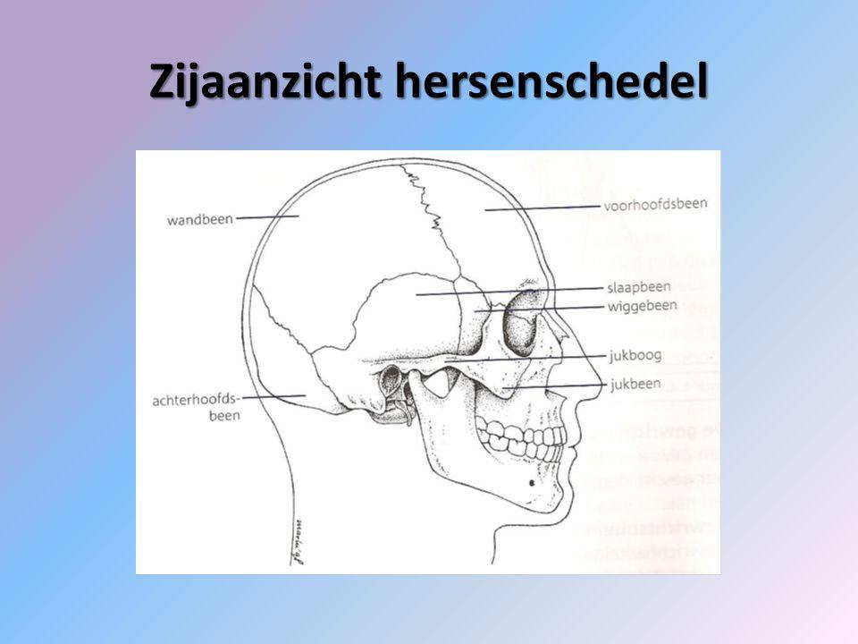 Zijaanzicht hersenschedel