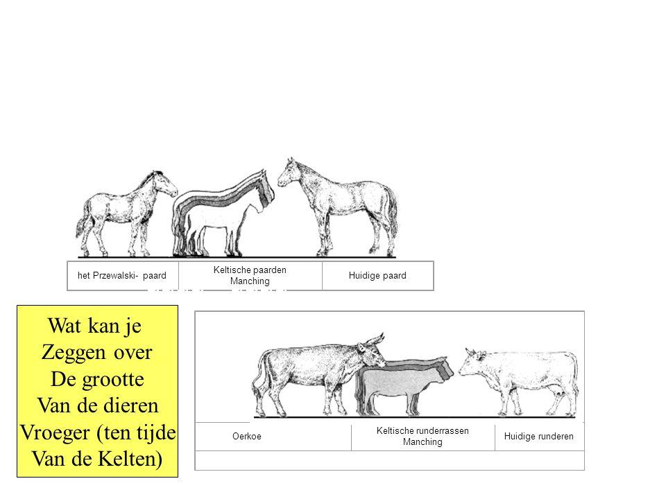 Keltische runderrassen Manching