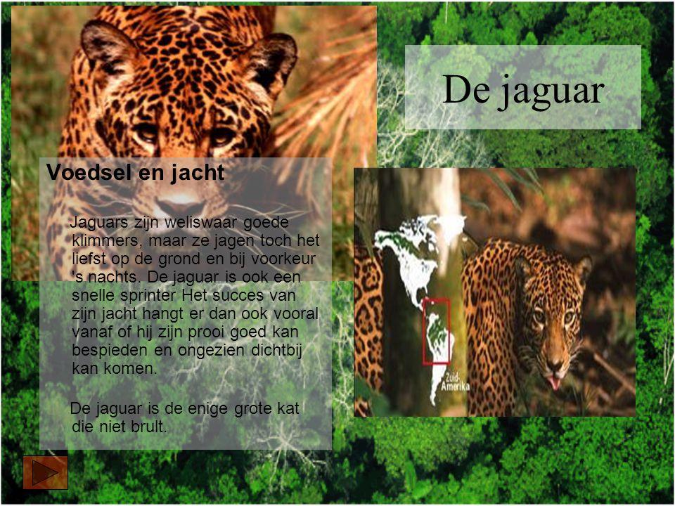 De jaguar Voedsel en jacht