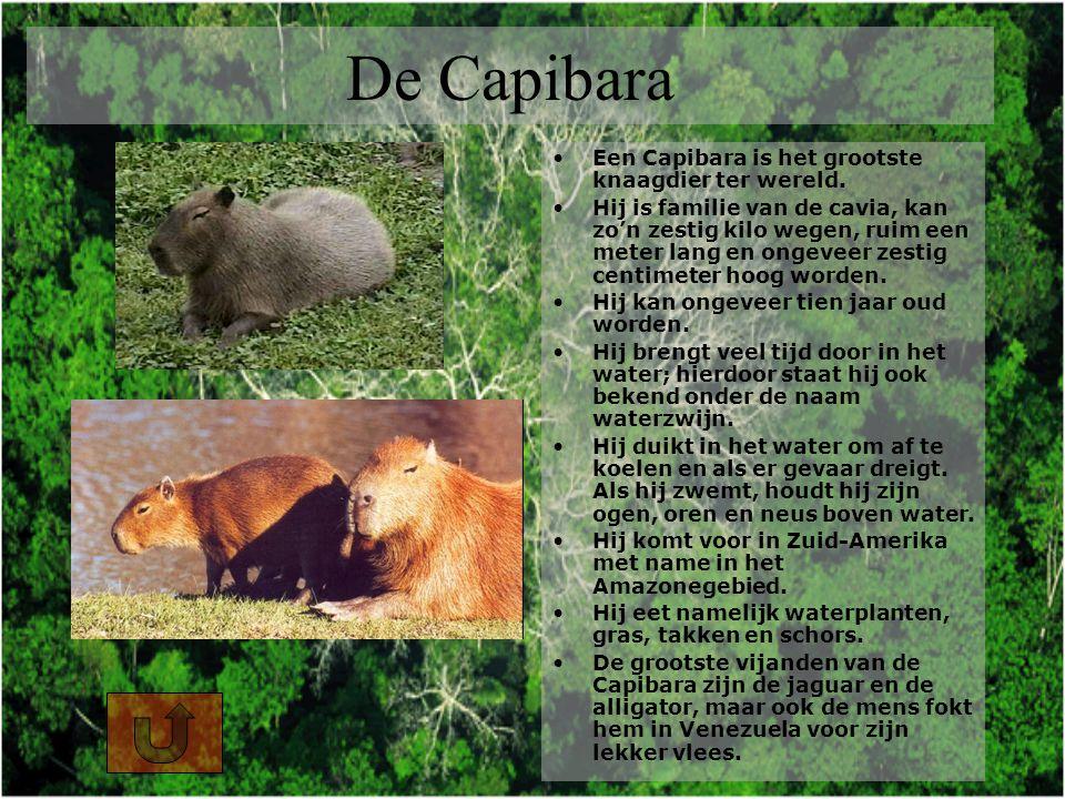 De Capibara Een Capibara is het grootste knaagdier ter wereld.