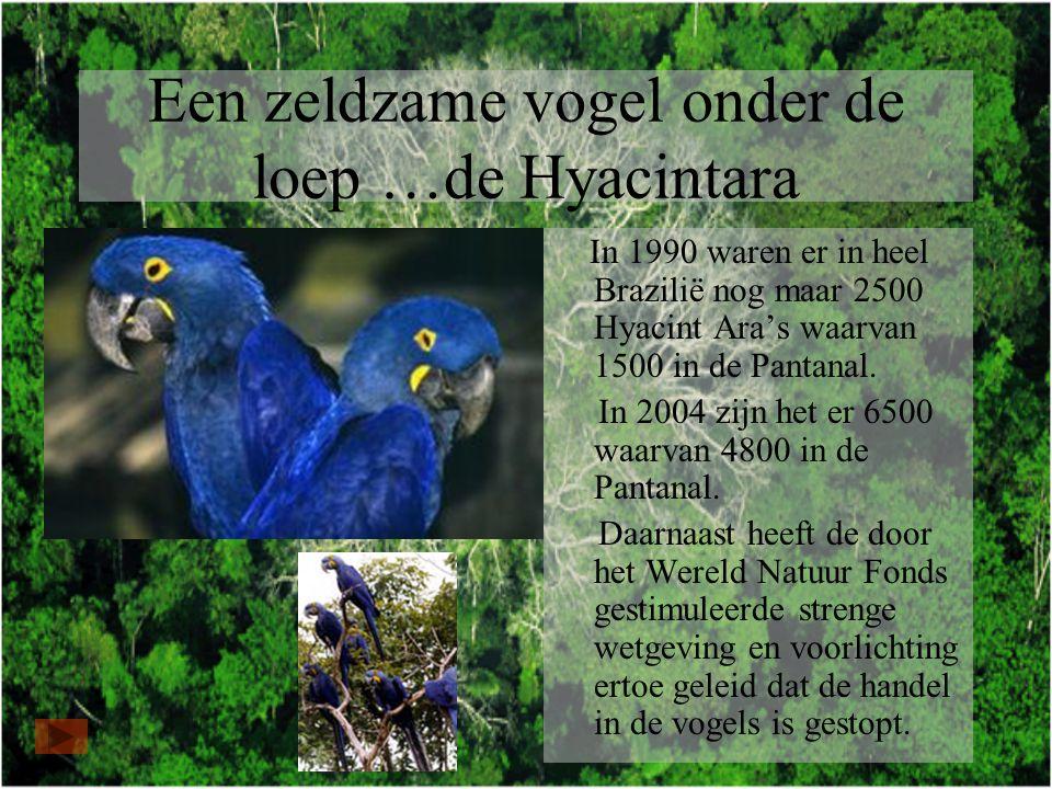 Een zeldzame vogel onder de loep …de Hyacintara