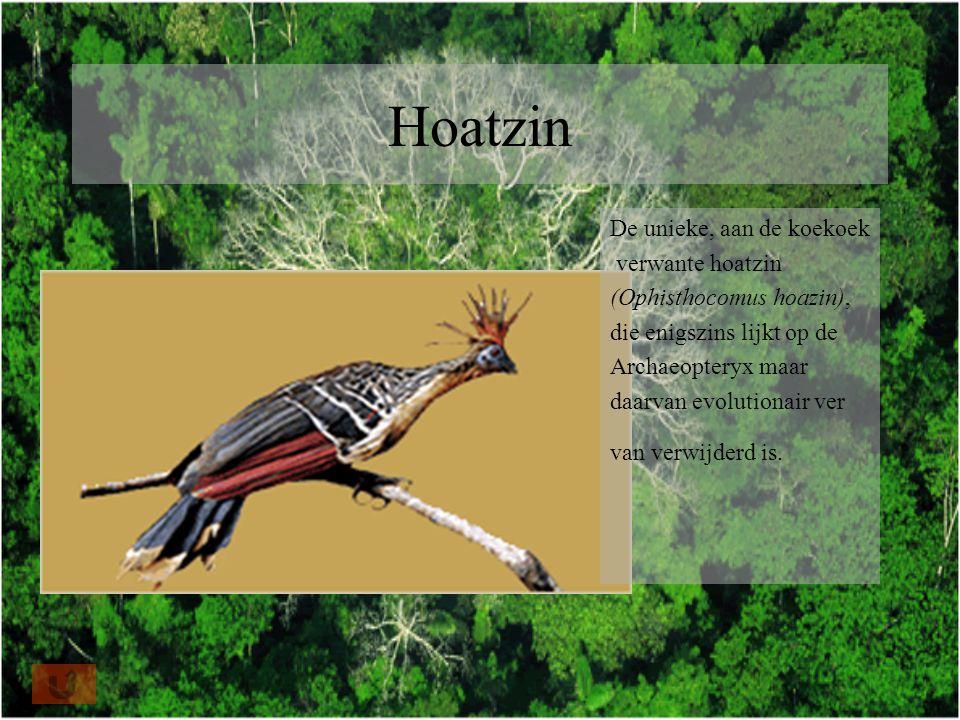 Hoatzin De unieke, aan de koekoek verwante hoatzin