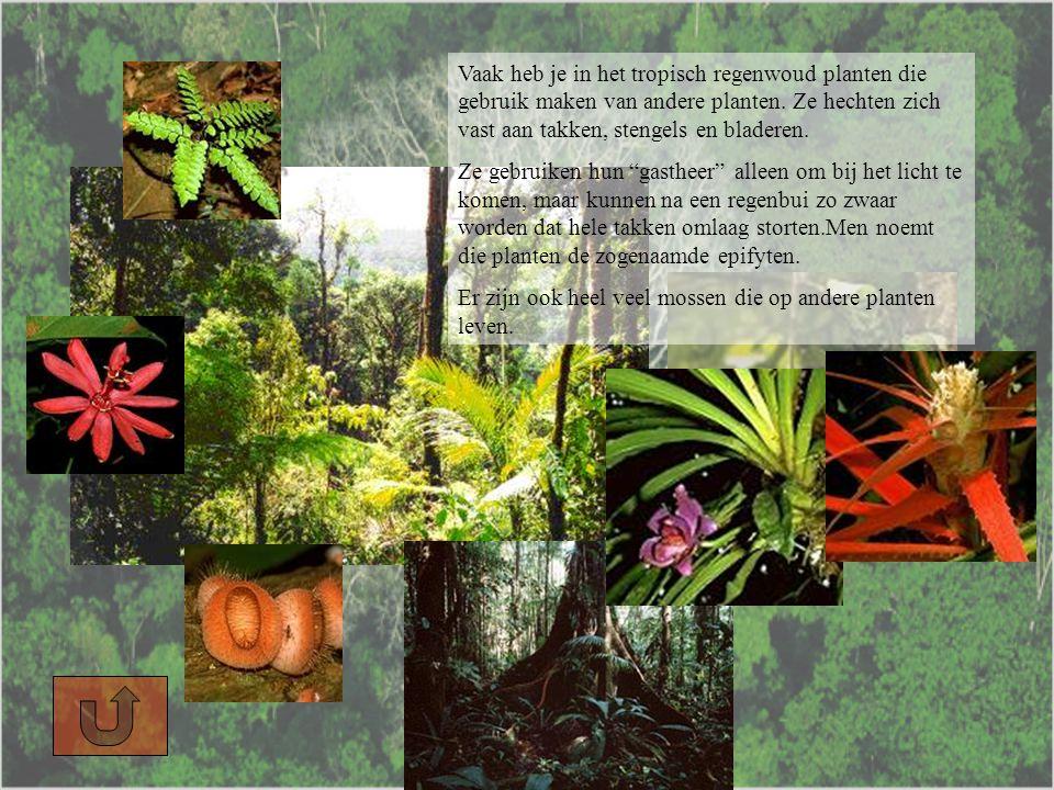 Vaak heb je in het tropisch regenwoud planten die gebruik maken van andere planten. Ze hechten zich vast aan takken, stengels en bladeren.