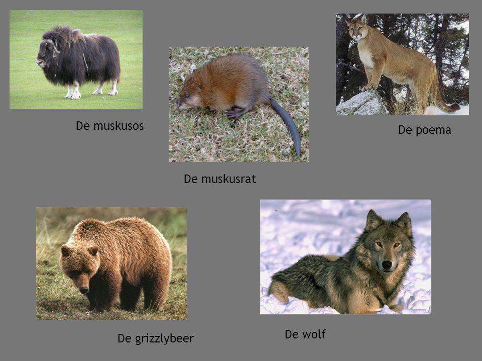 De muskusos De poema De muskusrat De wolf De grizzlybeer