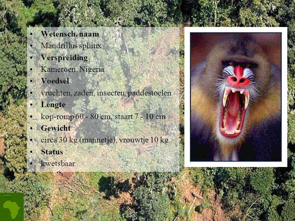 Wetensch. naam Mandrillus sphinx. Verspreiding. Kameroen, Nigeria. Voedsel. vruchten, zaden, insecten, paddestoelen.