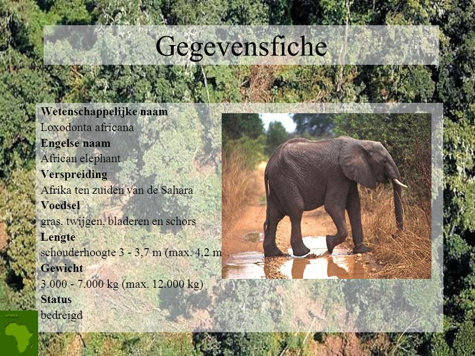 Gegevensfiche Wetenschappelijke naam Loxodonta africana Engelse naam