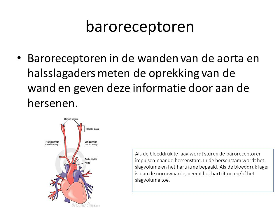 baroreceptoren