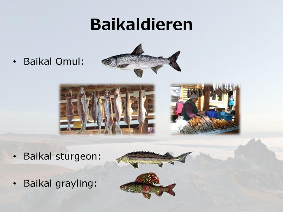 Baikaldieren Baikal Omul: Baikal sturgeon: Baikal grayling: