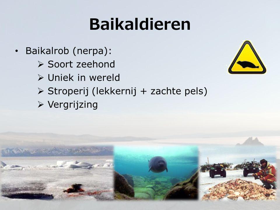 Baikaldieren Baikalrob (nerpa): Soort zeehond Uniek in wereld