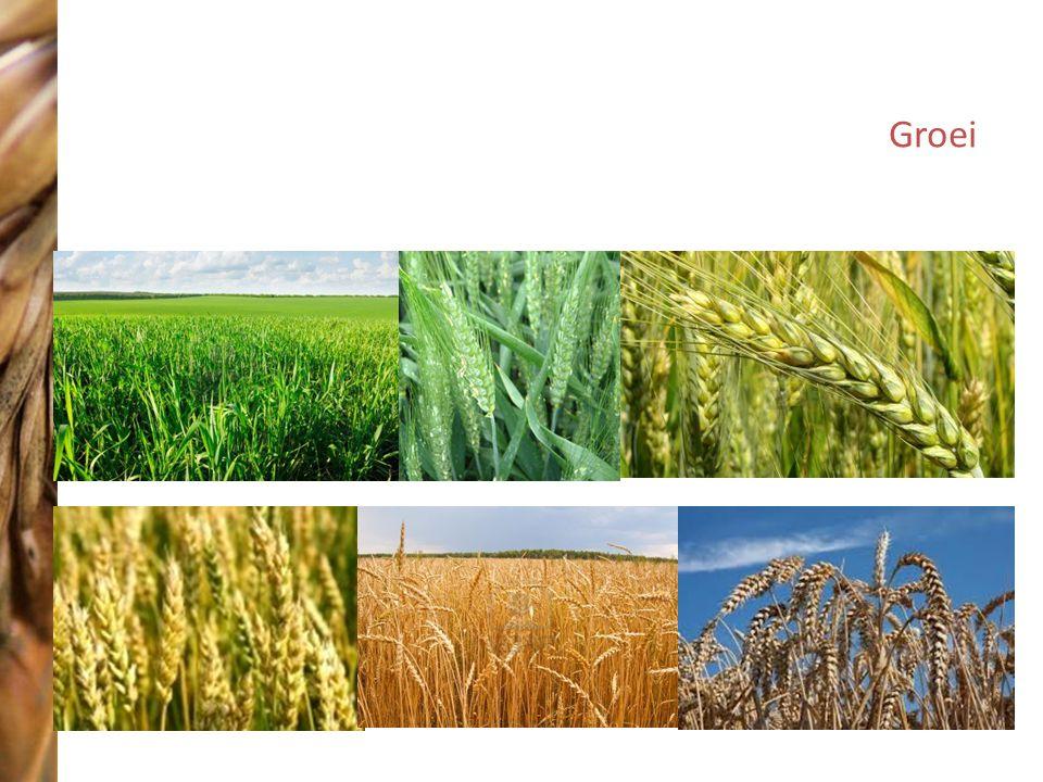 Groei http://us.cdn2.123rf.com/168nwm/mirage3/mirage31007/mirage3100700014/7476452-close-up-van-een-rijpings-ggo-tarwe-granen-va-a-r-de-oogst.jpg.