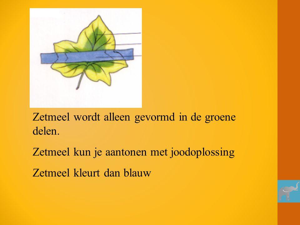 Zetmeel wordt alleen gevormd in de groene delen.