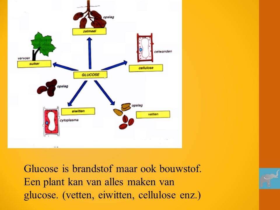 Glucose is brandstof maar ook bouwstof