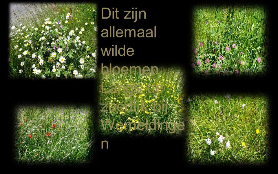 Dit zijn allemaal wilde bloemen Langs de zeedijk bij Wemeldingen