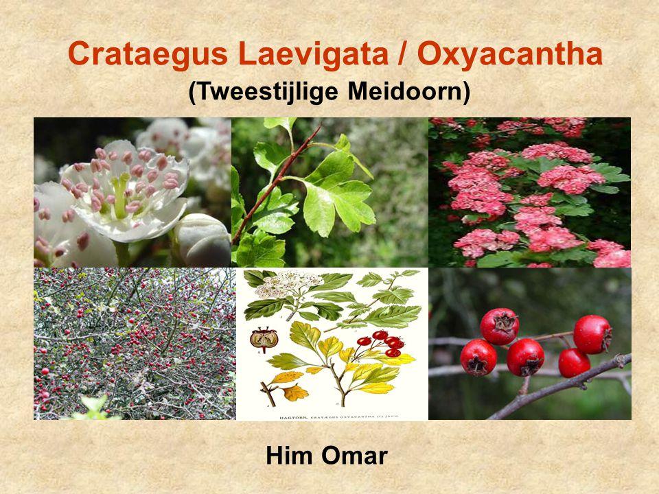 Crataegus Laevigata / Oxyacantha (Tweestijlige Meidoorn)
