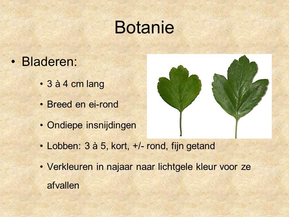 Botanie Bladeren: 3 à 4 cm lang Breed en ei-rond Ondiepe insnijdingen