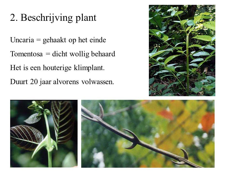 2. Beschrijving plant Uncaria = gehaakt op het einde