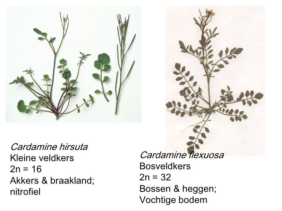 Cardamine hirsuta Kleine veldkers. 2n = 16. Akkers & braakland; nitrofiel. Cardamine flexuosa. Bosveldkers.