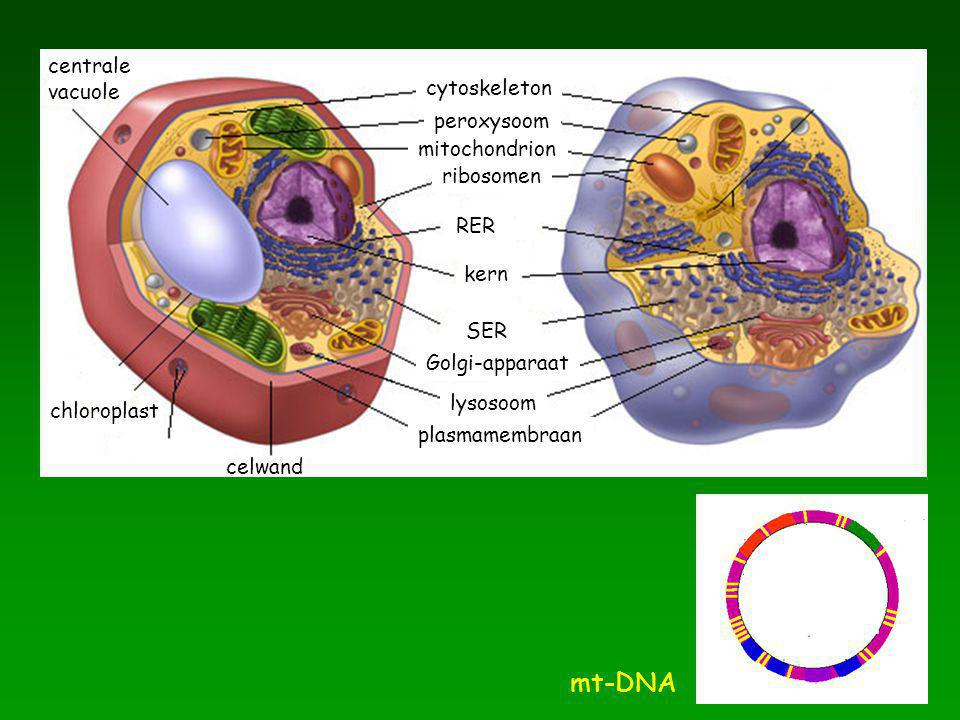 mt-DNA centrale vacuole cytoskeleton peroxysoom mitochondrion