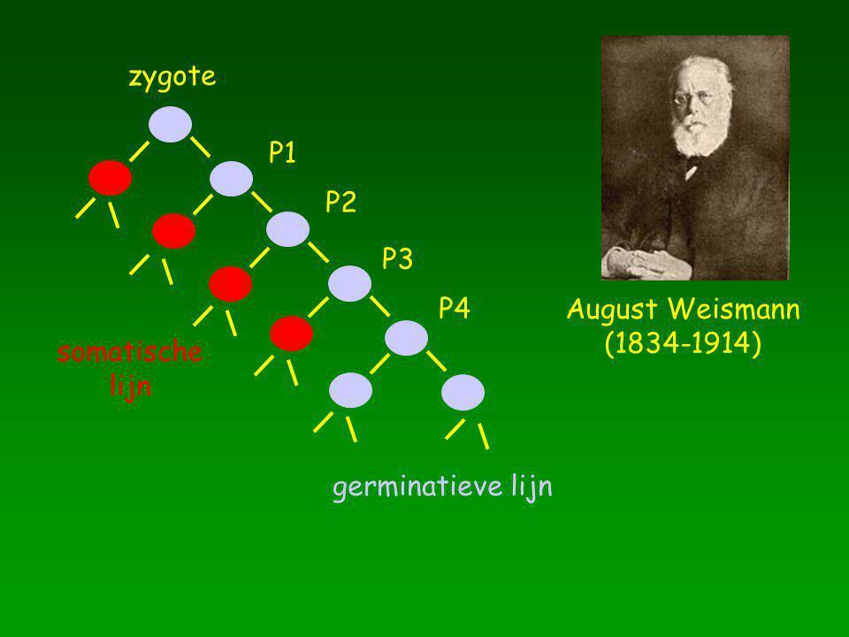 zygote P1 P2 P3 P4 August Weismann (1834-1914) somatische lijn germinatieve lijn