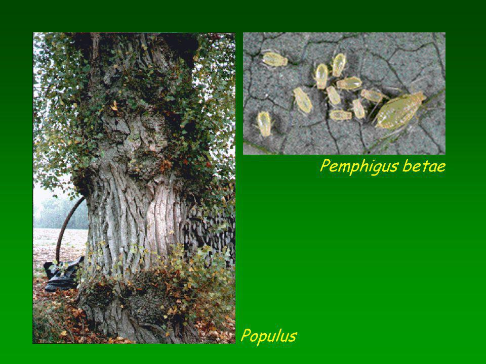 Pemphigus betae Populus