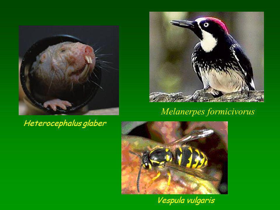 Melanerpes formicivorus