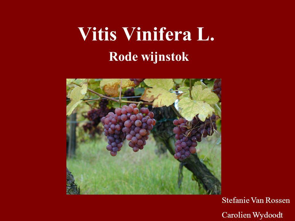 Vitis Vinifera L. Rode wijnstok Stefanie Van Rossen Carolien Wydoodt