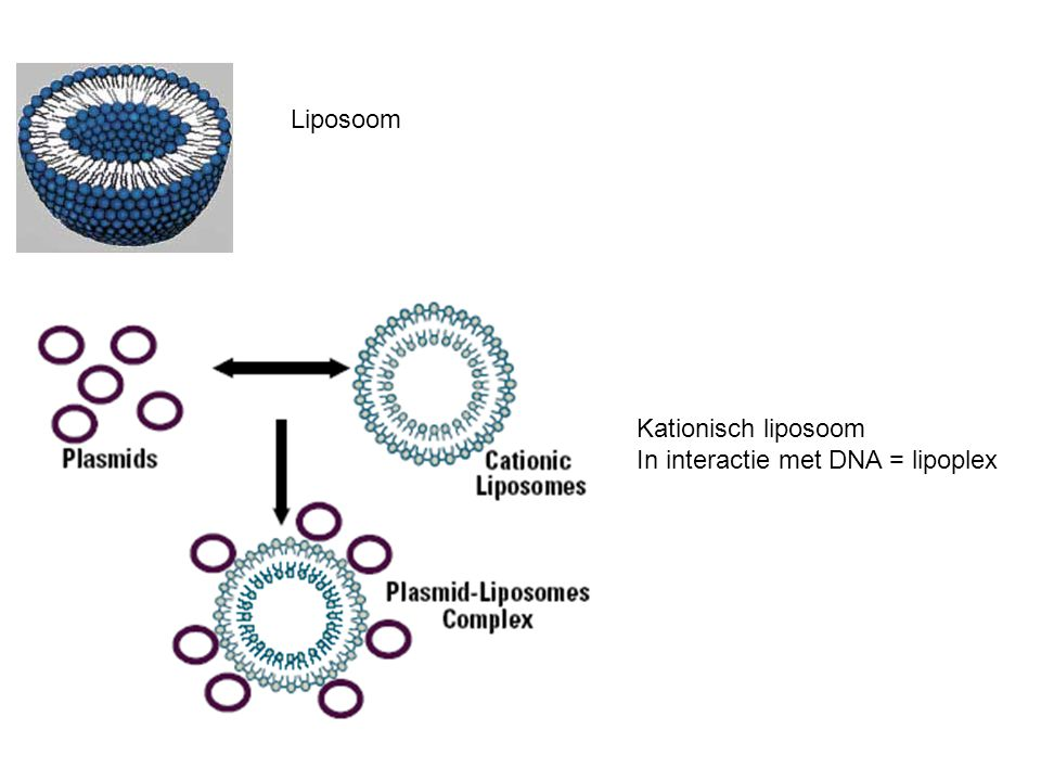 Liposoom Kationisch liposoom In interactie met DNA = lipoplex