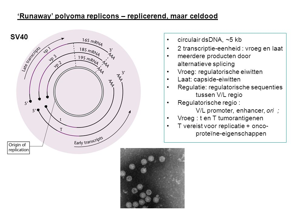 'Runaway' polyoma replicons – replicerend, maar celdood