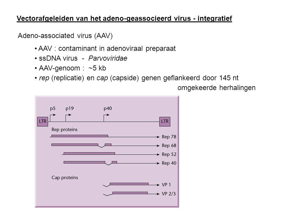 Vectorafgeleiden van het adeno-geassocieerd virus - integratief