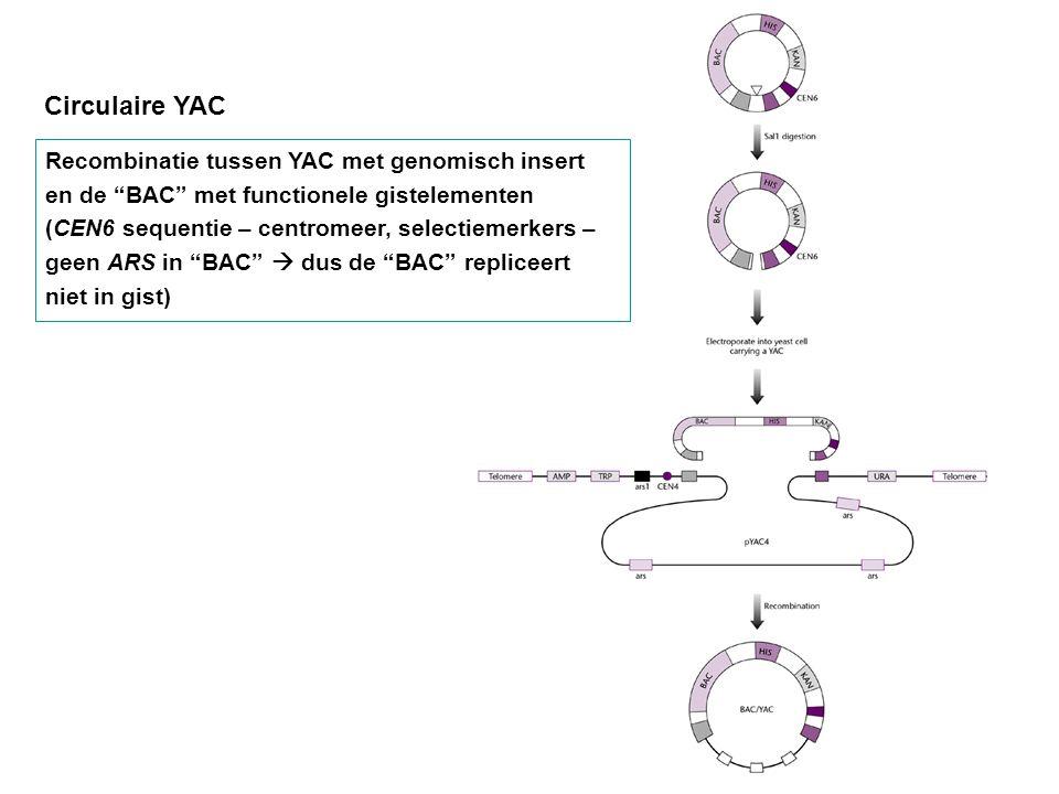 Circulaire YAC Recombinatie tussen YAC met genomisch insert en de BAC met functionele gistelementen.