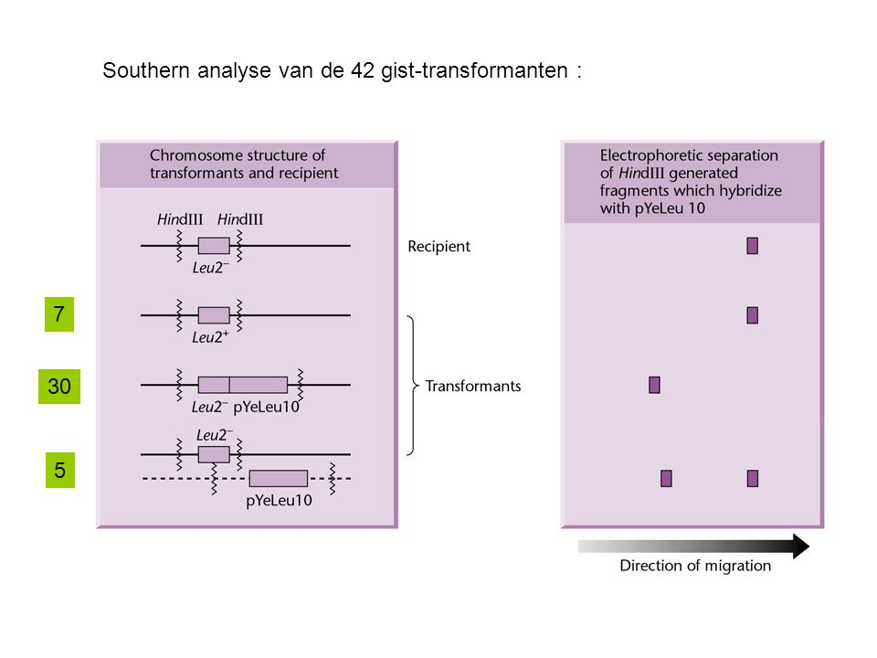 Southern analyse van de 42 gist-transformanten :