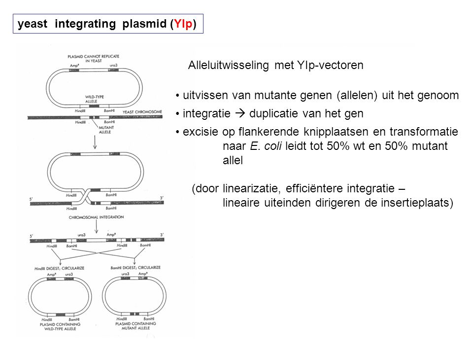 yeast integrating plasmid (YIp)
