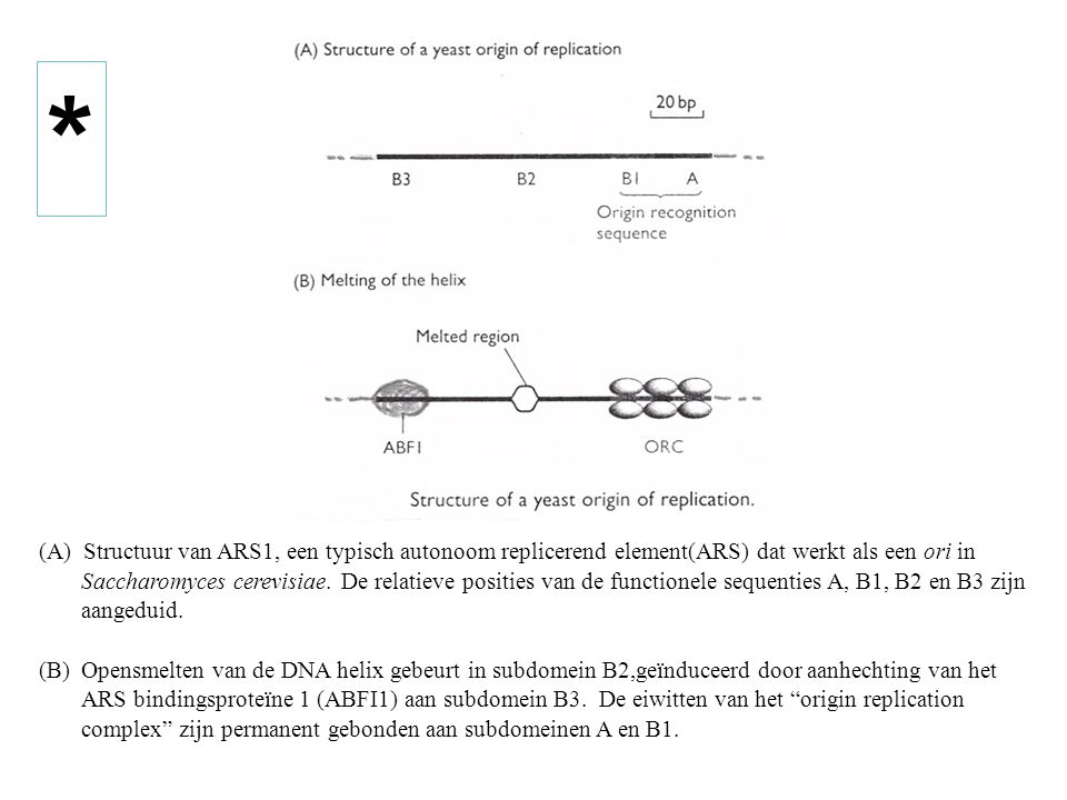 (A) Structuur van ARS1, een typisch autonoom replicerend element(ARS) dat werkt als een ori in Saccharomyces cerevisiae. De relatieve posities van de functionele sequenties A, B1, B2 en B3 zijn aangeduid.