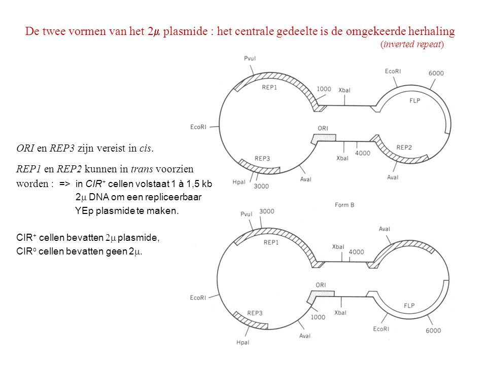 De twee vormen van het 2m plasmide : het centrale gedeelte is de omgekeerde herhaling