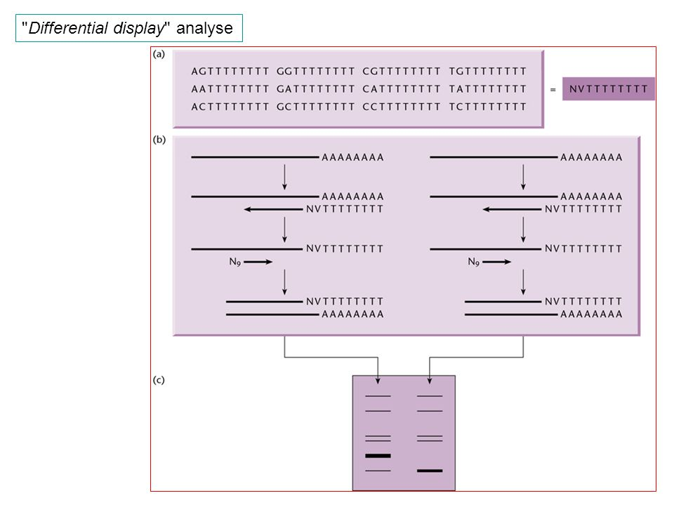 Differential display analyse