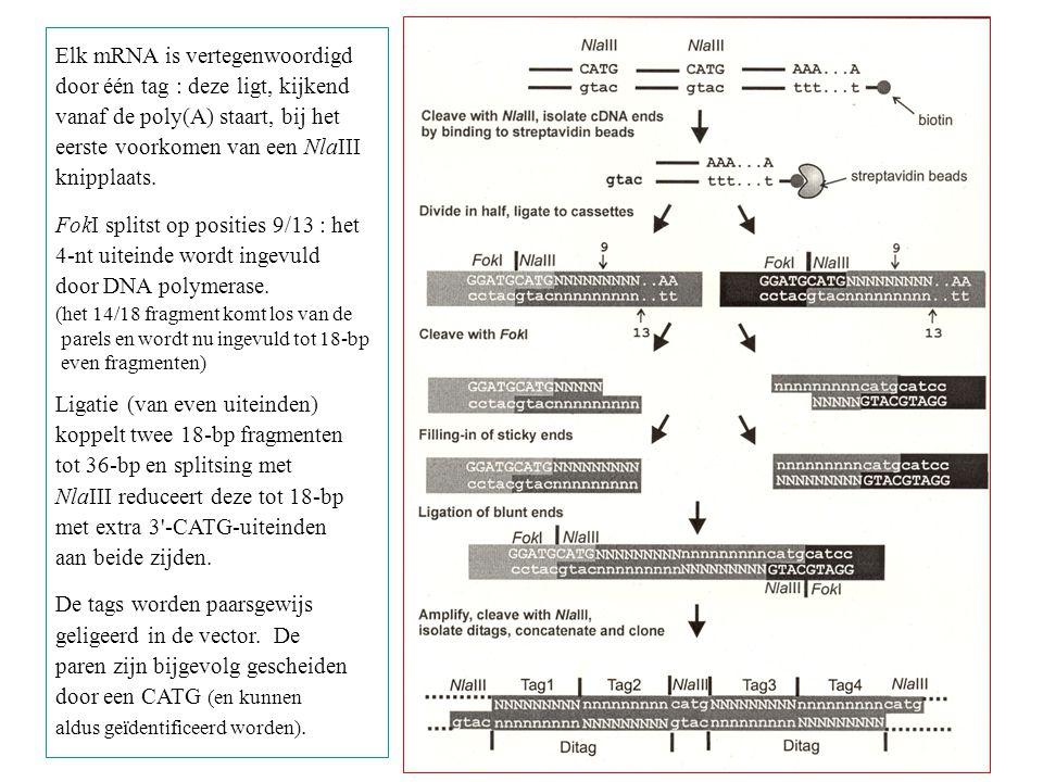 Elk mRNA is vertegenwoordigd door één tag : deze ligt, kijkend