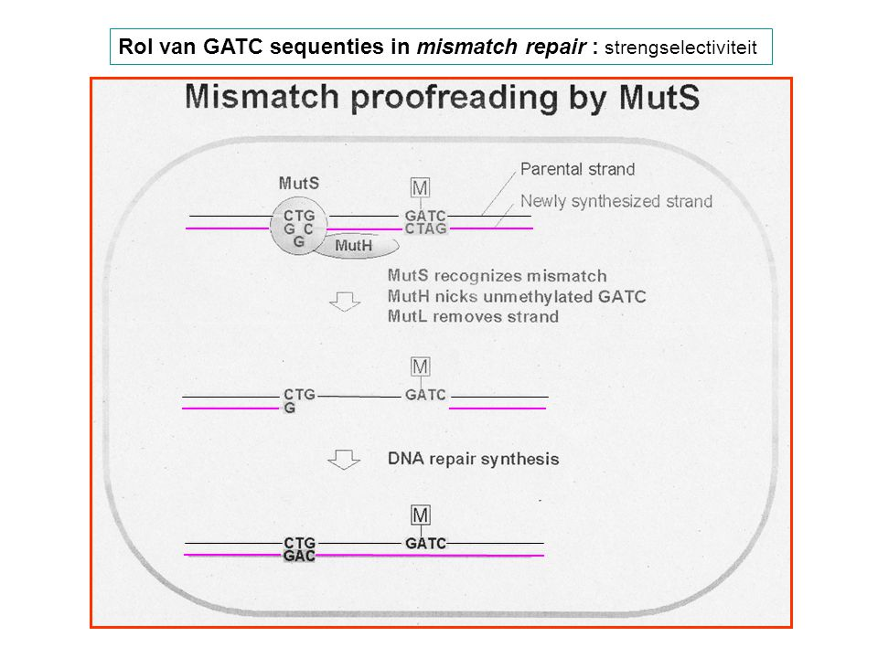 Rol van GATC sequenties in mismatch repair : strengselectiviteit