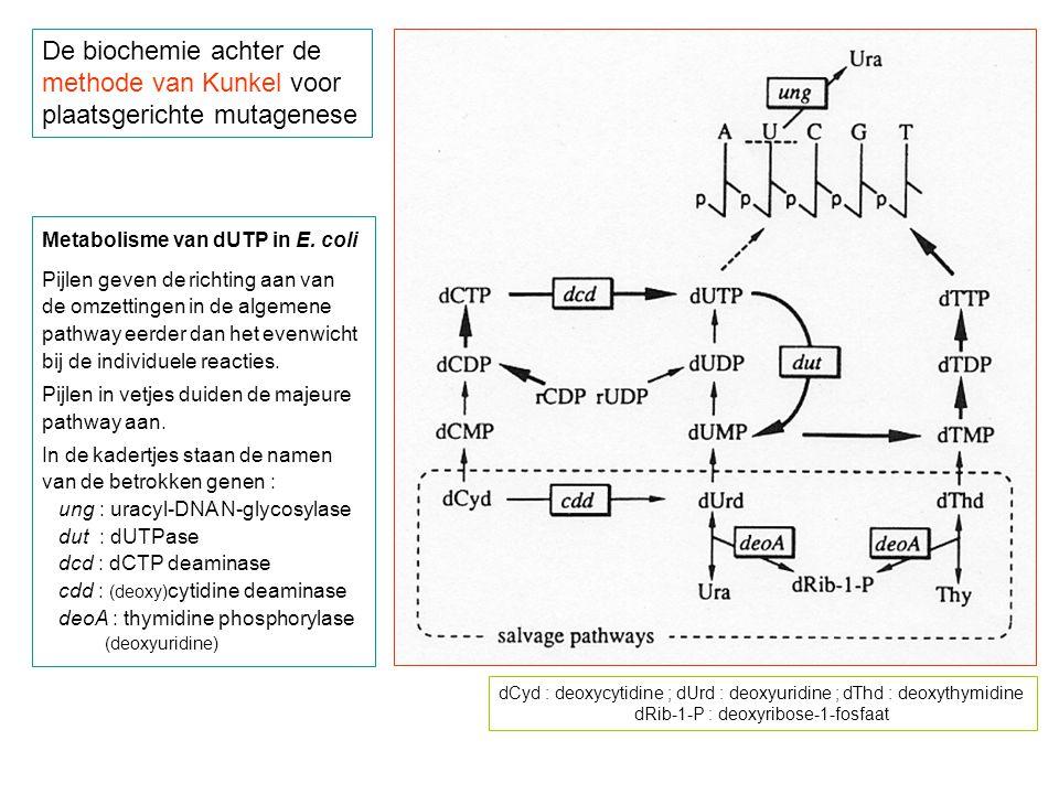 methode van Kunkel voor plaatsgerichte mutagenese