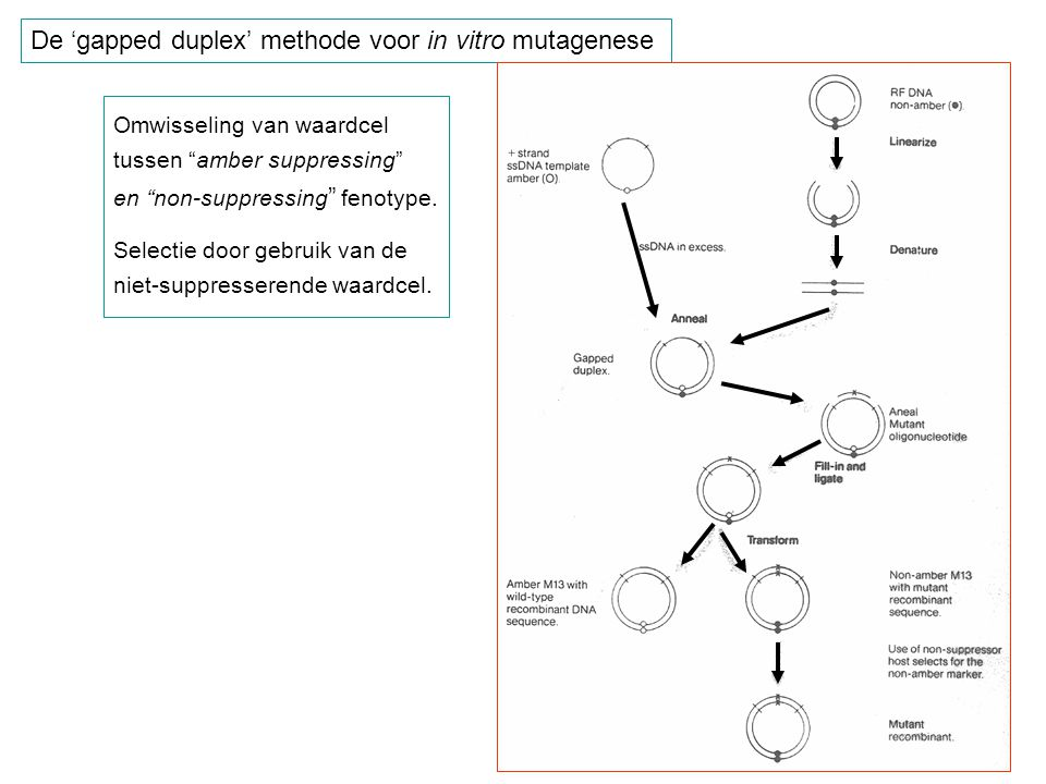 De 'gapped duplex' methode voor in vitro mutagenese